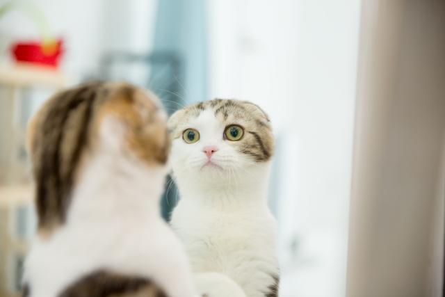 鏡に映った自分を見つめる猫 画像