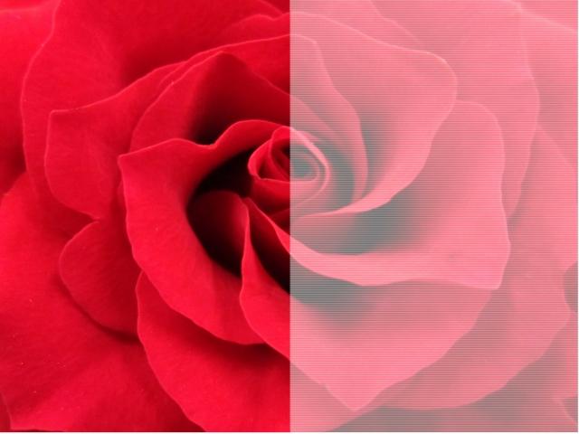 解像度の違いを表したバラ画像