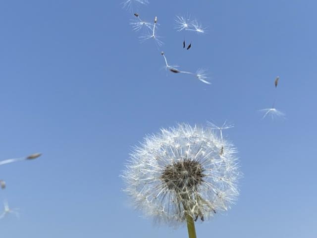 タンポポの綿毛が飛ぶ画像